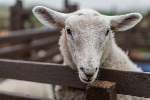 Sheep putting her head over the wooden gates on a farm in Kent, UK