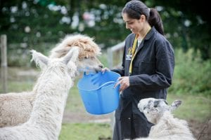 A Myercough College student feeds an alpaca